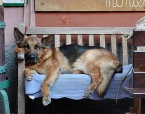 Italian-Dog-cropped